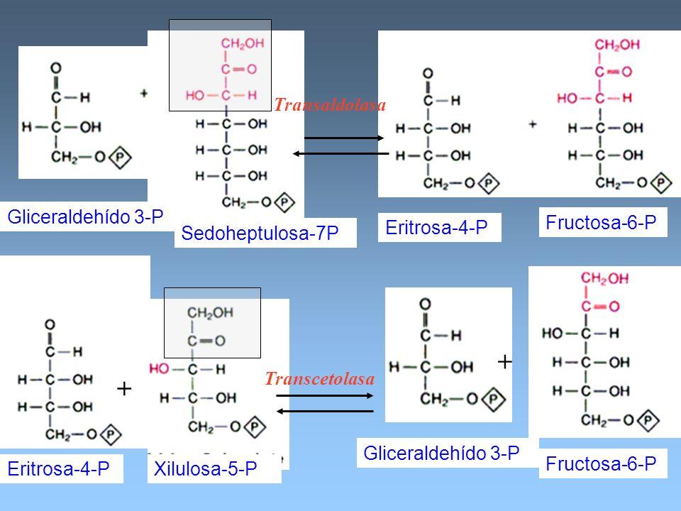 Sedoheptulosa-7P Eritrosa-4-P Fructosa-6-P Transaldolasa Gliceraldehído 3-P Eritrosa-4-P Xilulosa-5-P Transcetolasa Gliceraldehído 3-P Fructosa-6-P +