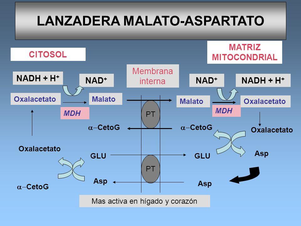 LANZADERA MALATO-ASPARTATO MATRIZ MITOCONDRIAL CITOSOL Membrana interna PT GLU CetoG NADH + H + NAD + NADH + H + NAD + OxalacetatoMalato MDH Oxalaceta
