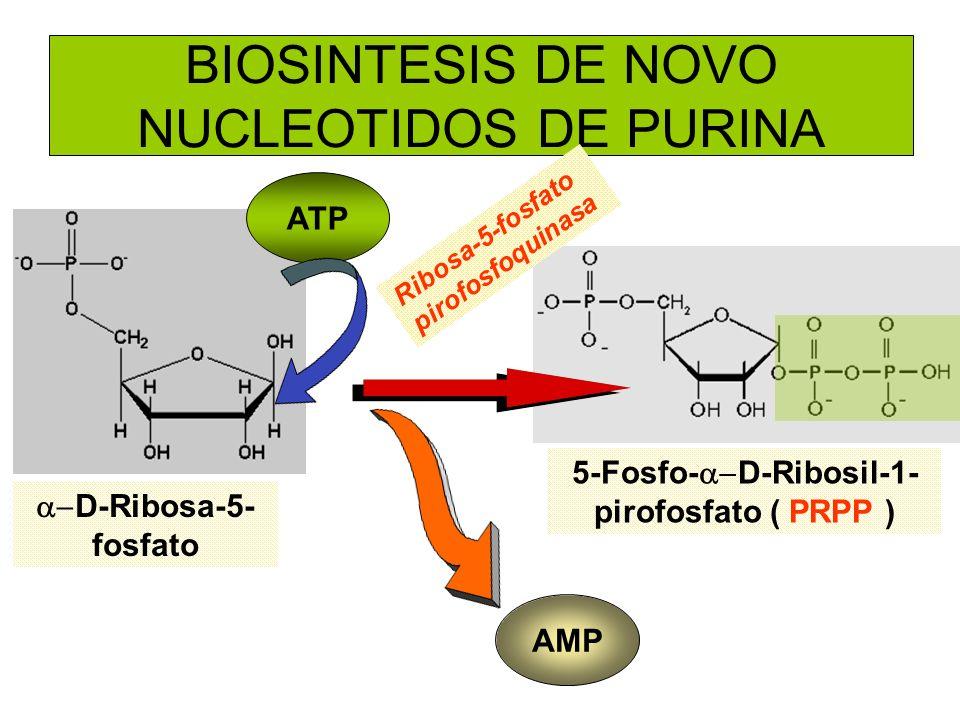 BIOSINTESIS DE NOVO NUCLEOTIDOS DE PURINA ATP AMP D-Ribosa-5- fosfato 5-Fosfo- D-Ribosil-1- pirofosfato ( PRPP ) Ribosa-5-fosfato pirofosfoquinasa