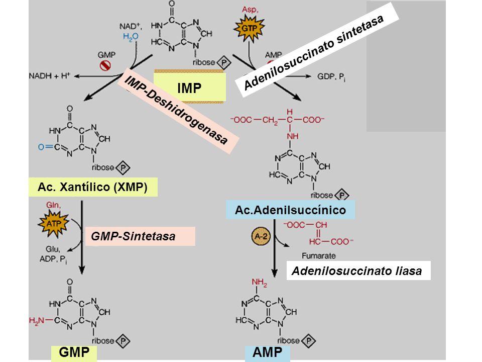 IMP Ac. Xantílico (XMP) GMP-Sintetasa IMP-Deshidrogenasa GMPAMP Ac.Adenilsuccínico Adenilosuccinato sintetasa Adenilosuccinato liasa