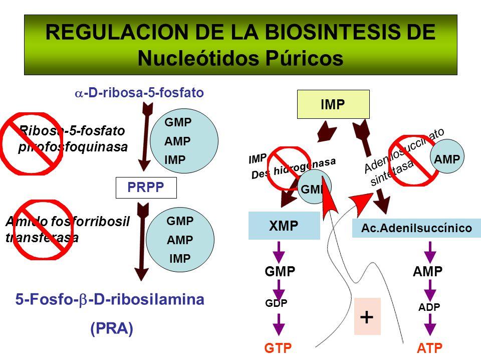 REGULACION DE LA BIOSINTESIS DE Nucleótidos Púricos -D-ribosa-5-fosfato PRPP 5-Fosfo- -D-ribosilamina (PRA) IMP GTP GDP GMPAMP ADP ATP Amido fosforrib