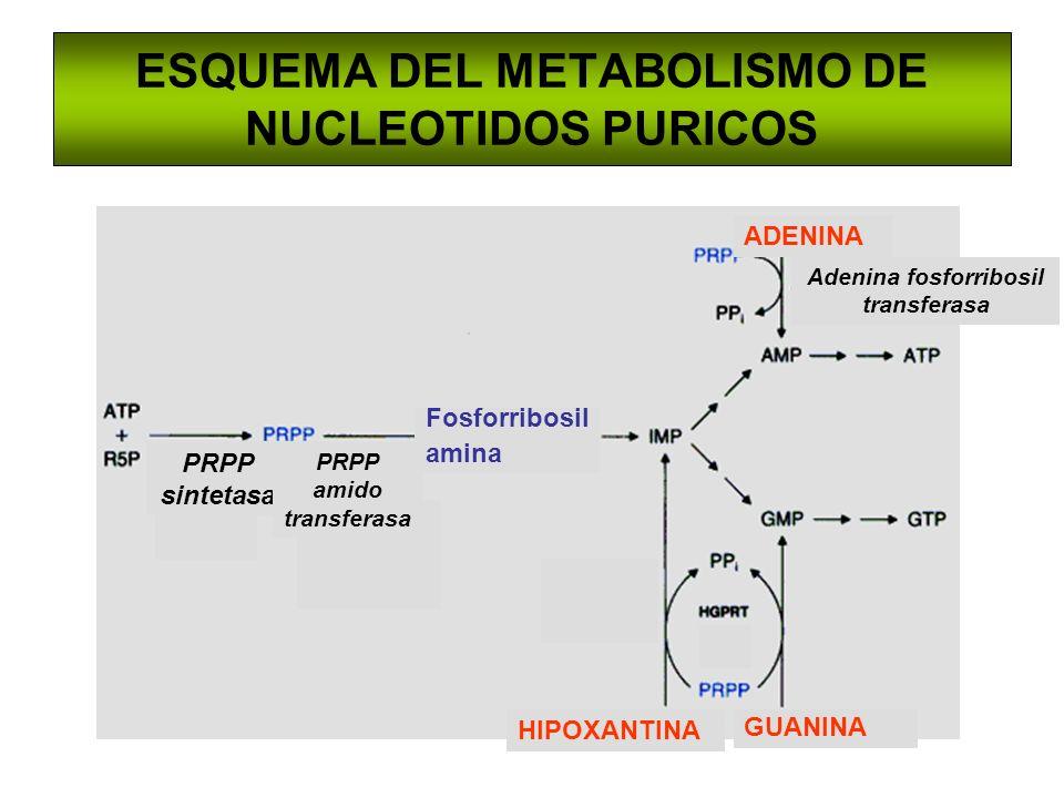 ESQUEMA DEL METABOLISMO DE NUCLEOTIDOS PURICOS Fosforribosil amina GUANINA HIPOXANTINA ADENINA PRPP sintetasa PRPP amido transferasa Adenina fosforrib