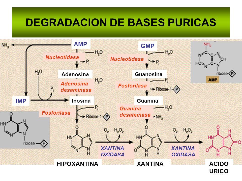 DEGRADACION DE BASES PURICAS Nucleotidasa Adenosina desaminasa Fosforilasa Guanina desaminasa XANTINA OXIDASA XANTINAHIPOXANTINAACIDO URICO AdenosinaG