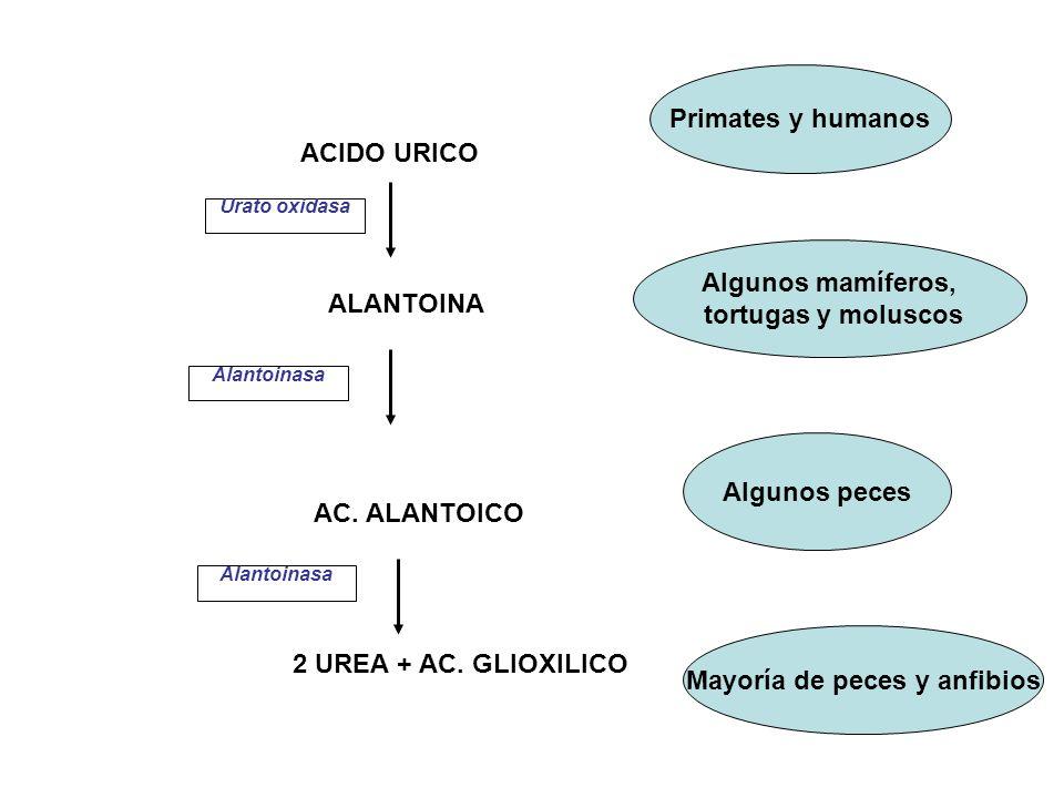 ACIDO URICO ALANTOINA AC. ALANTOICO 2 UREA + AC. GLIOXILICO Primates y humanos Algunos mamíferos, tortugas y moluscos Algunos peces Mayoría de peces y