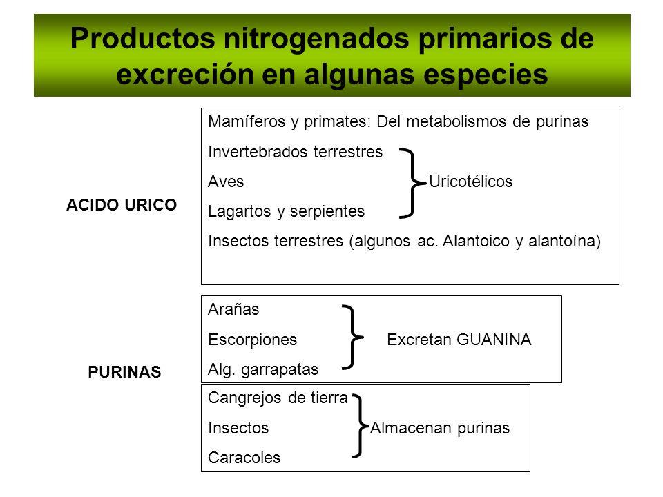 Productos nitrogenados primarios de excreción en algunas especies ACIDO URICO PURINAS Arañas Escorpiones Excretan GUANINA Alg. garrapatas Cangrejos de