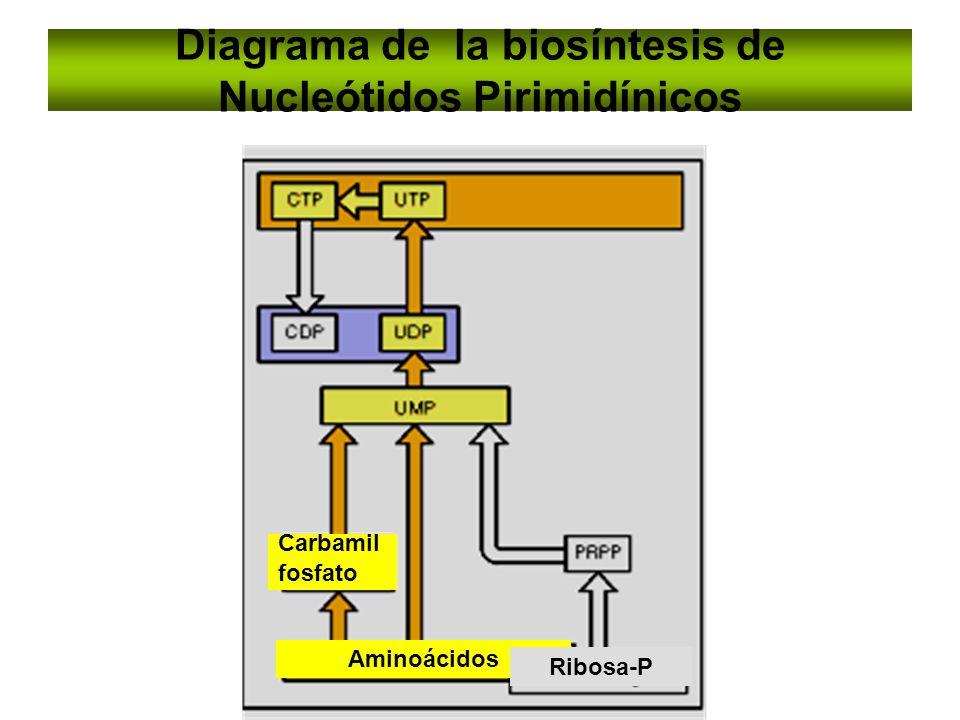 Diagrama de la biosíntesis de Nucleótidos Pirimidínicos Carbamil fosfato Aminoácidos Ribosa-P