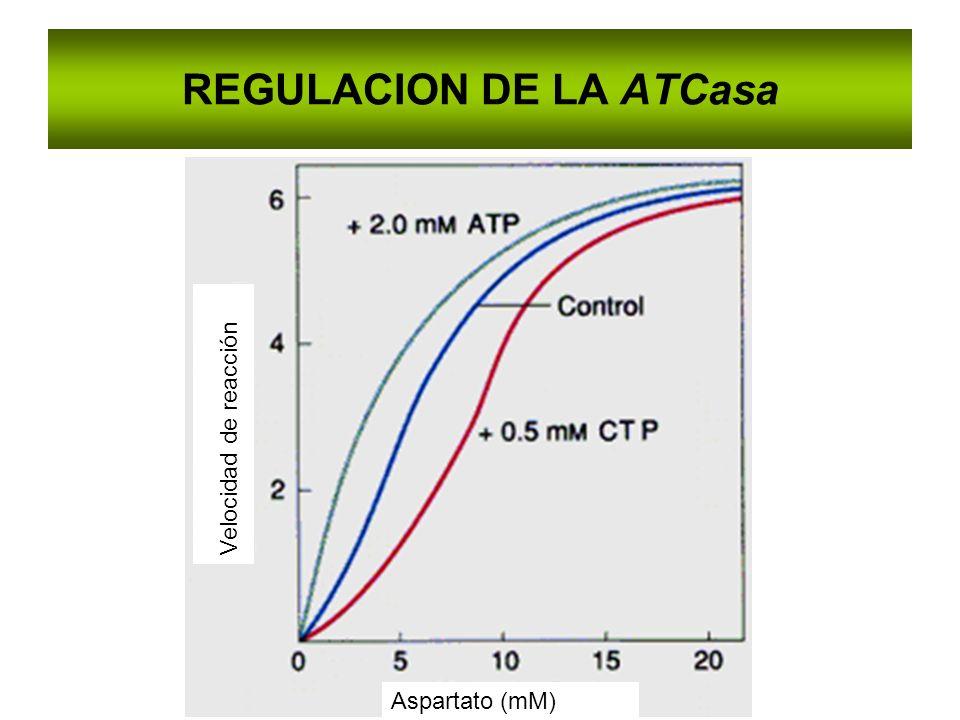 REGULACION DE LA ATCasa Aspartato (mM) Velocidad de reacción