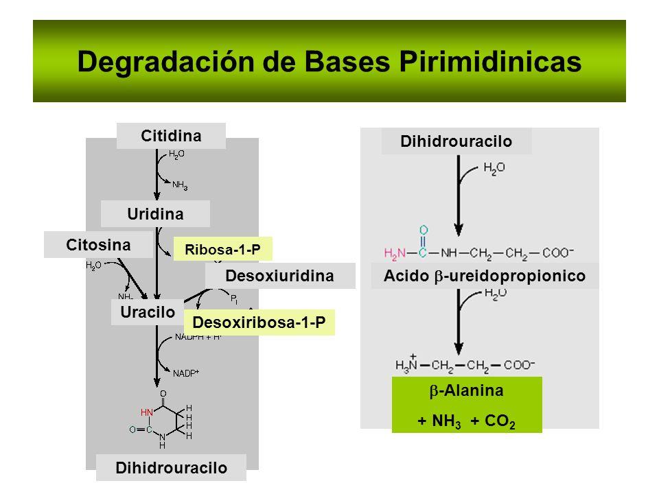 Degradación de Bases Pirimidinicas Uracilo Desoxiuridina Ribosa-1-P Citosina Uridina Citidina Desoxiribosa-1-P Dihidrouracilo Acido -ureidopropionico