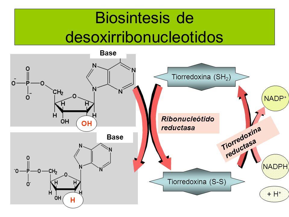 Biosintesis de desoxirribonucleotidos Base OH NADPH + H + Tiorredoxina (SH 2 ) Tiorredoxina (S-S) Ribonucleótido reductasa H NADP + Tiorredoxina reduc