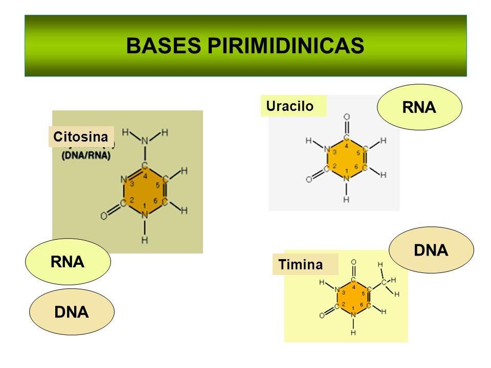 BASES PIRIMIDINICAS Citosina Uracilo Timina DNA RNA DNA