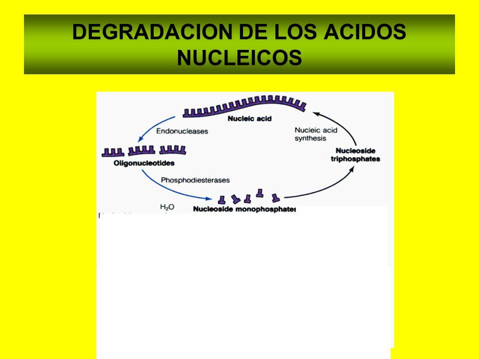 DEGRADACION DE BASES PURICAS Nucleotidasa Adenosina desaminasa Fosforilasa Guanina desaminasa XANTINA OXIDASA XANTINAHIPOXANTINAACIDO URICO AdenosinaGuanosina InosinaGuanina AMP GMP Fosforilasa IMP