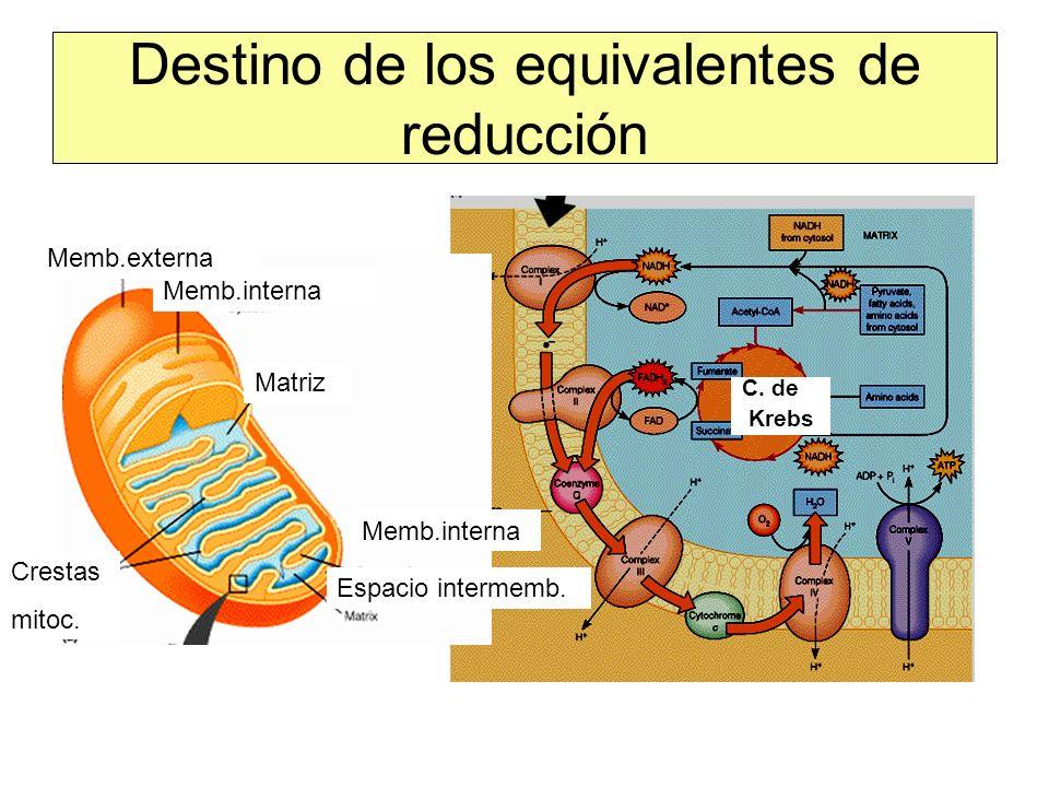 Destino de los equivalentes de reducción C. de Krebs Memb.interna Espacio intermemb. Memb.interna Memb.externa Crestas mitoc. Matriz