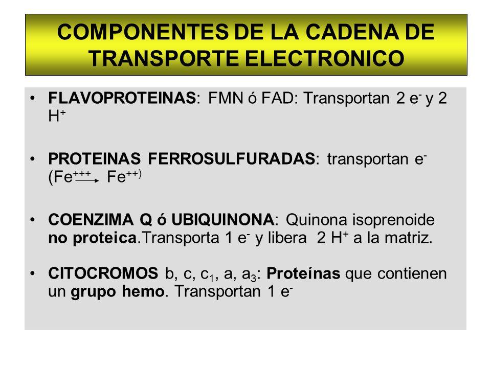 COMPONENTES DE LA CADENA DE TRANSPORTE ELECTRONICO FLAVOPROTEINAS: FMN ó FAD: Transportan 2 e - y 2 H + PROTEINAS FERROSULFURADAS: transportan e - (Fe