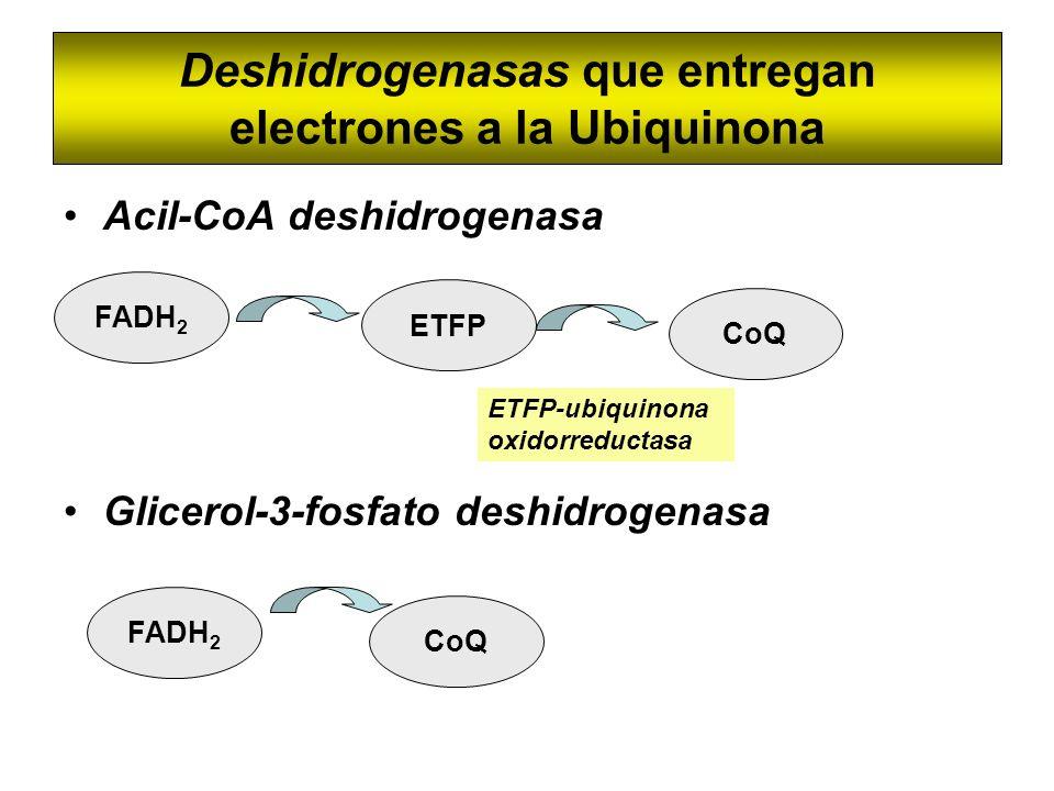 Deshidrogenasas que entregan electrones a la Ubiquinona Acil-CoA deshidrogenasa Glicerol-3-fosfato deshidrogenasa FADH 2 ETFP CoQ ETFP-ubiquinona oxid