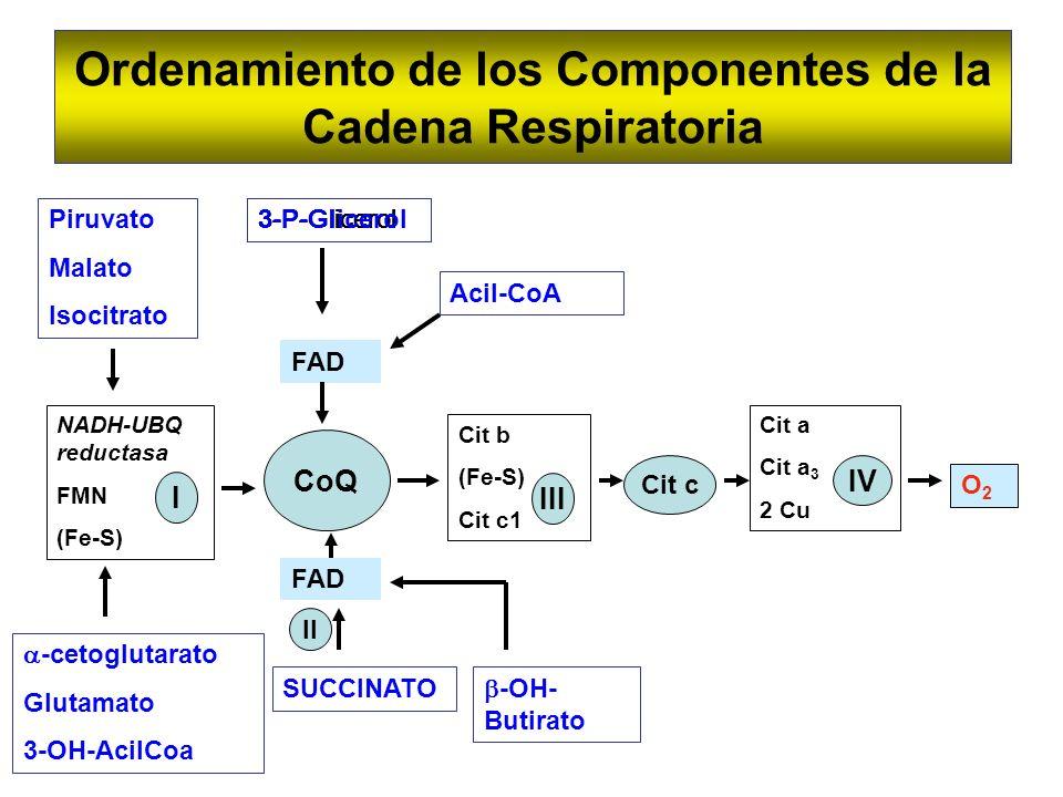 Ordenamiento de los Componentes de la Cadena Respiratoria CoQ NADH-UBQ reductasa FMN (Fe-S) I Cit c Cit b (Fe-S) Cit c1 III Cit a Cit a 3 2 Cu IV O2O2