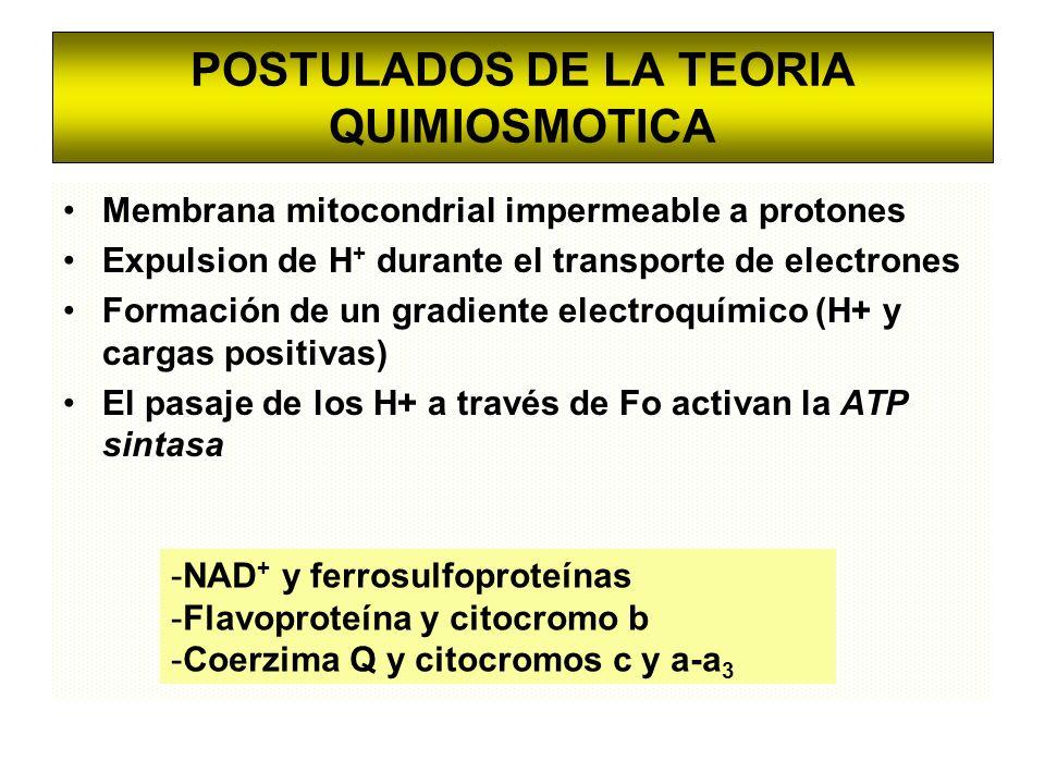POSTULADOS DE LA TEORIA QUIMIOSMOTICA Membrana mitocondrial impermeable a protones Expulsion de H + durante el transporte de electrones Formación de u