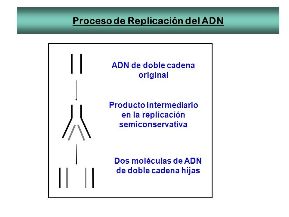 Proceso de Replicación del ADN ADN de doble cadena original Producto intermediario en la replicación semiconservativa Dos moléculas de ADN de doble ca
