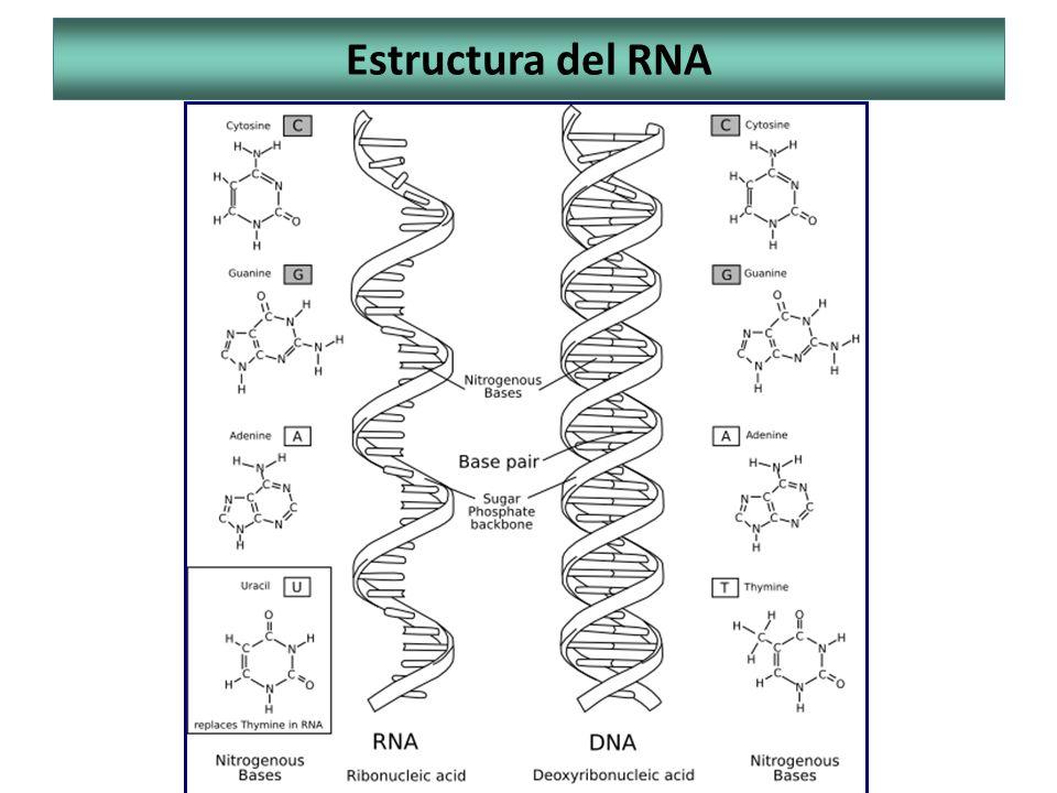 Estructura del RNA