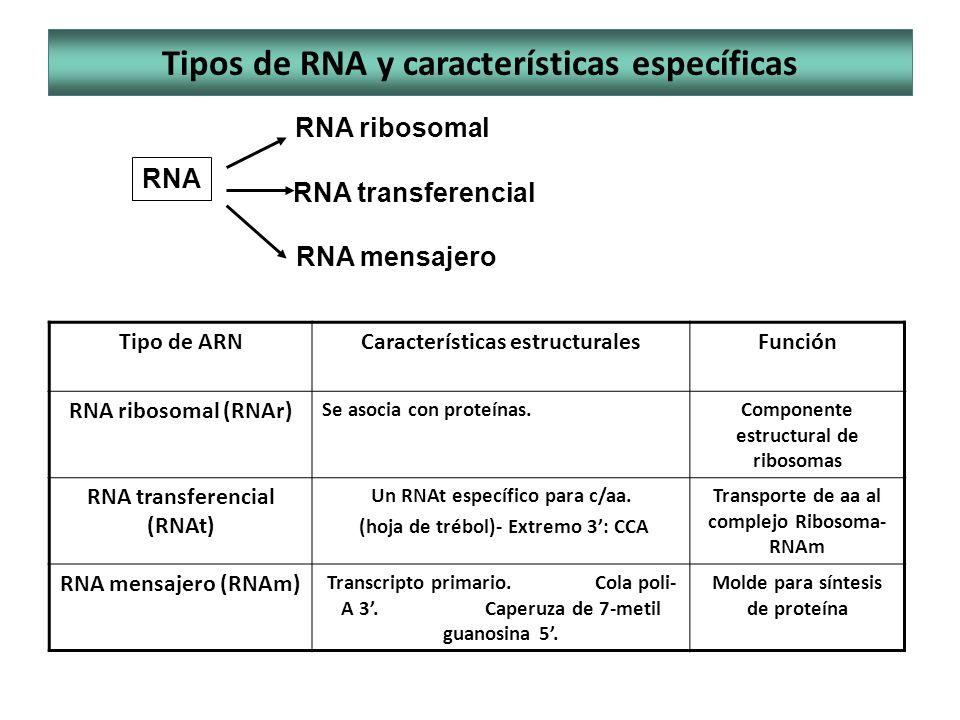 Tipos de RNA y características específicas RNA RNA ribosomal RNA transferencial RNA mensajero Tipo de ARNCaracterísticas estructuralesFunción RNA ribo