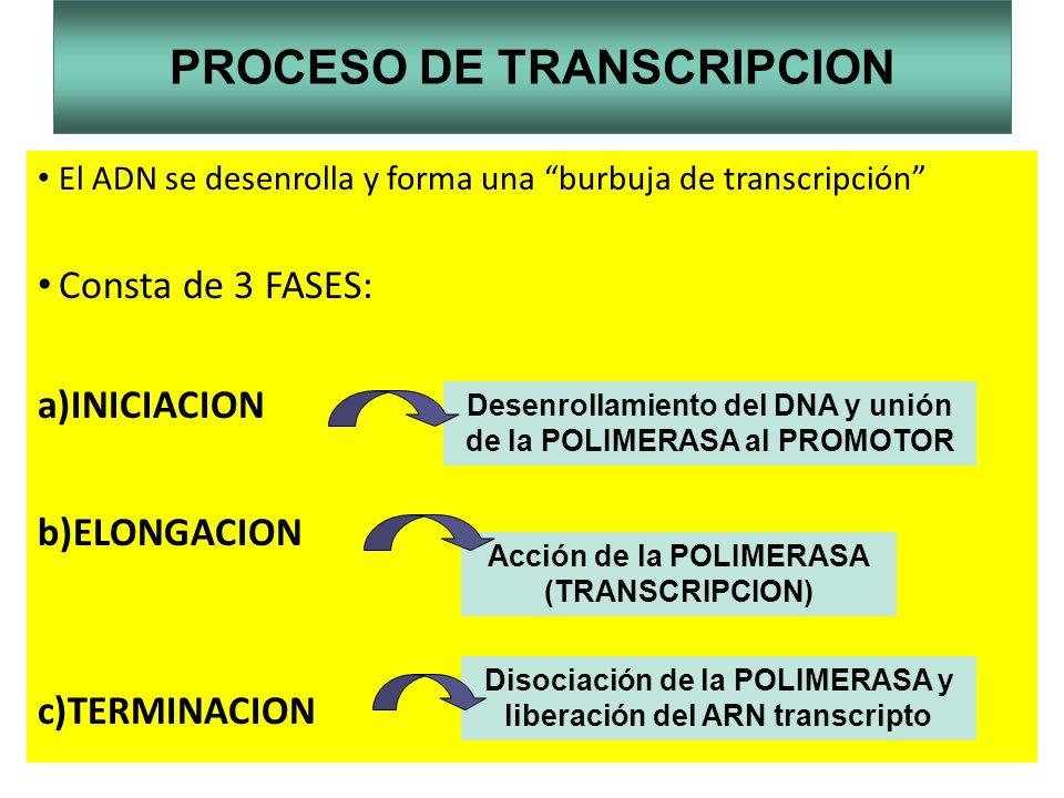 PROCESO DE TRANSCRIPCION El ADN se desenrolla y forma una burbuja de transcripción Consta de 3 FASES: a)INICIACION b)ELONGACION c)TERMINACION Desenrol