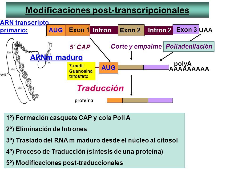 Modificaciones post-transcripcionales ARN transcripto primario: AAAAAAAAA ARNm maduro 5´ CAP polyA AUG proteína Traducción AUG UAA Corte y empalme Pol