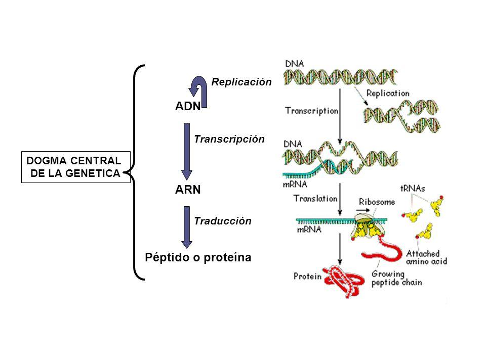 ADN ARN Péptido o proteína Replicación Transcripción Traducción DOGMA CENTRAL DE LA GENETICA