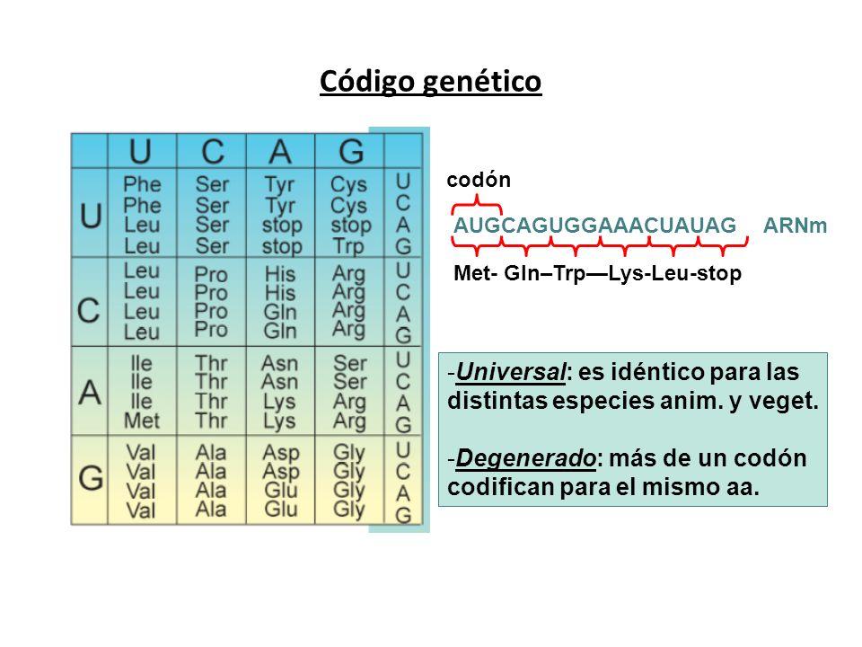 Código genético AUGCAGUGGAAACUAUAGARNm codón Met- Gln–TrpLys-Leu-stop -Universal: es idéntico para las distintas especies anim. y veget. -Degenerado: