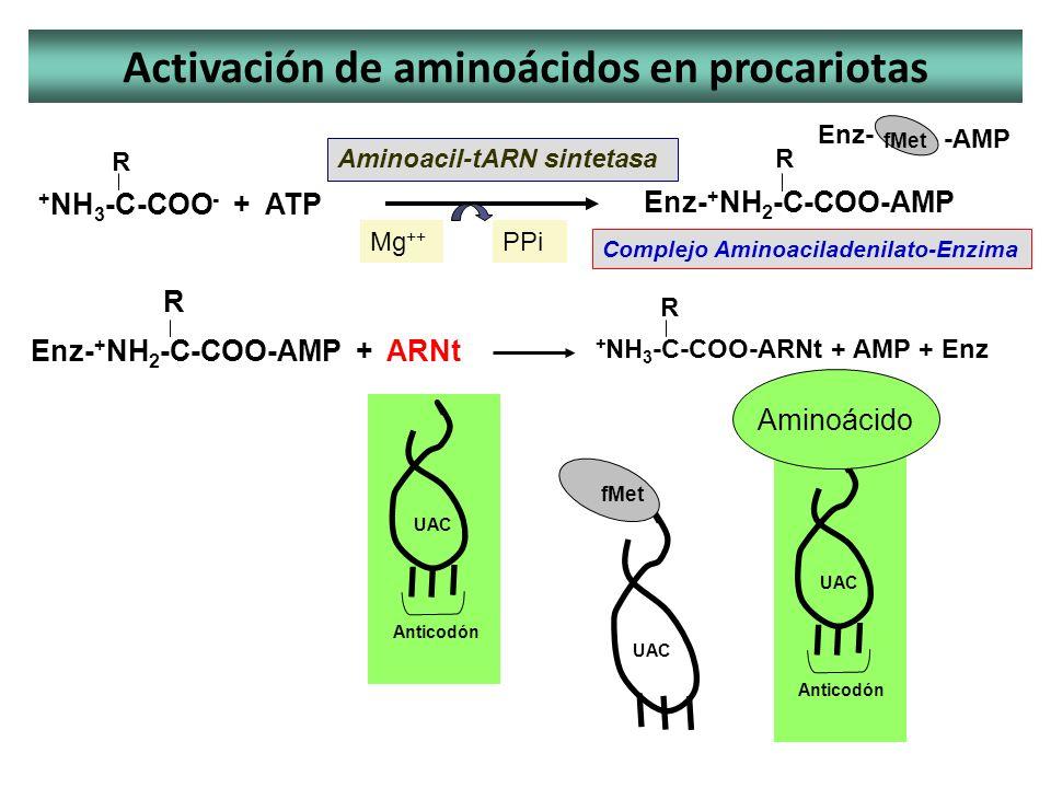 Enz- + NH 2 -C-COO-AMP + ARNt Activación de aminoácidos en procariotas Aminoacil-tARN sintetasa + NH 3 -C-COO - + ATP R Enz- + NH 2 -C-COO-AMP R Compl