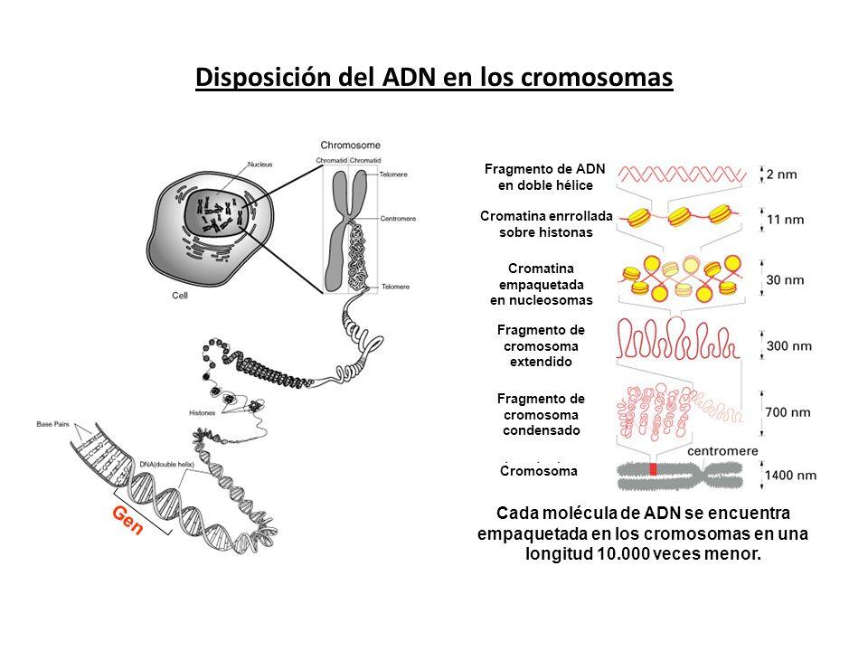 Disposición del ADN en los cromosomas Fragmento de ADN en doble hélice Cromatina enrrollada sobre histonas Cromatina empaquetada en nucleosomas Fragme