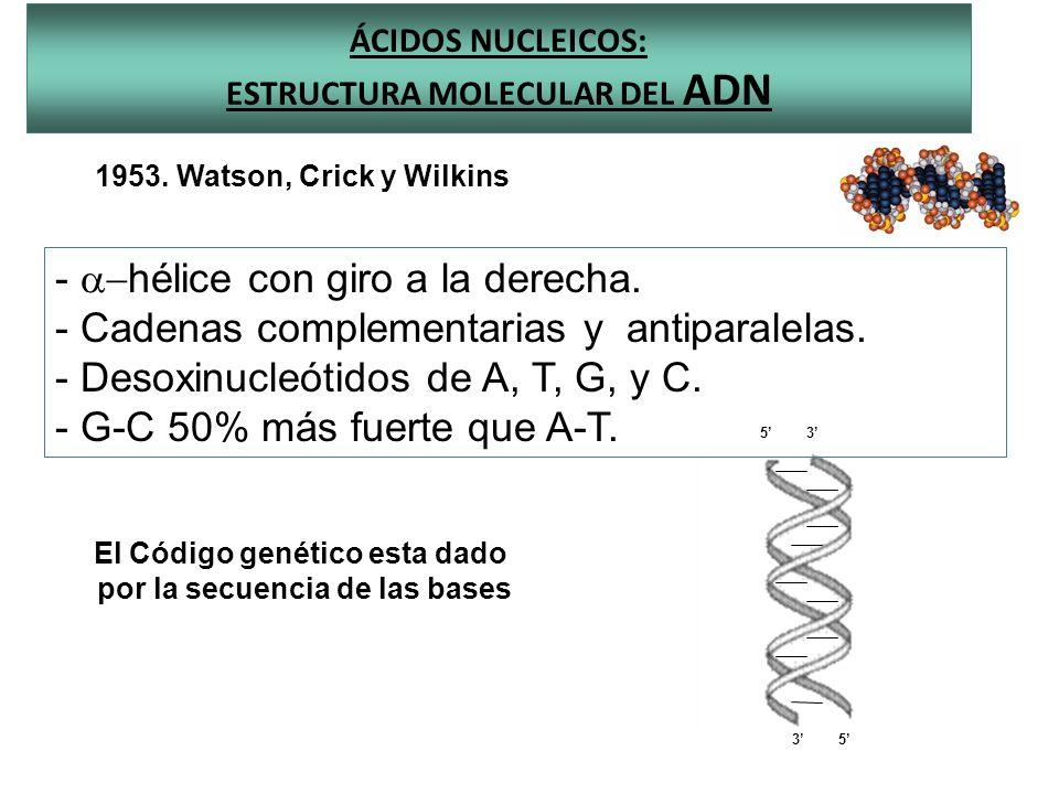 ÁCIDOS NUCLEICOS: ESTRUCTURA MOLECULAR DEL ADN 35 35 1953. Watson, Crick y Wilkins - hélice con giro a la derecha. - Cadenas complementarias y antipar