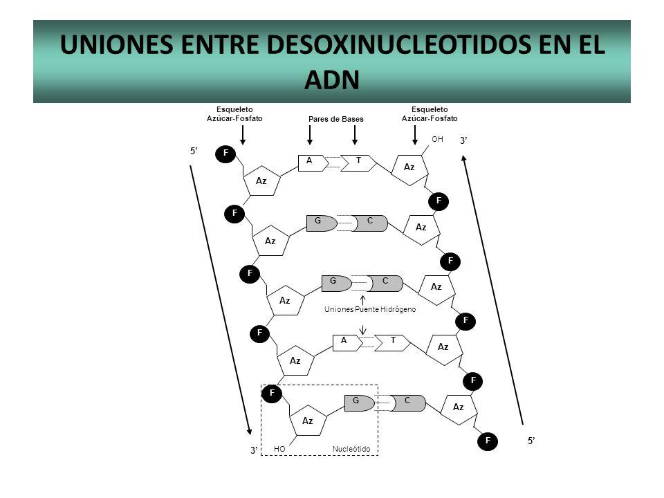 UNIONES ENTRE DESOXINUCLEOTIDOS EN EL ADN Uniones Puente Hidrógeno Esqueleto Azúcar-Fosfato Esqueleto Azúcar-Fosfato Pares de Bases 3 5 5 3 F Az T F A