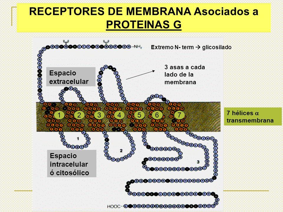 RECEPTORES DE MEMBRANA Asociados a PROTEINAS G Extremo amino con C.Polisac. Extremo C-terminal interaccionan con Prot.G 7 hélices transmembrana Espaci