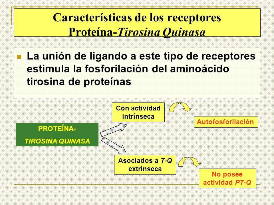 Características de los receptores Proteína-Tirosina Quinasa La unión de ligando a este tipo de receptores estimula la fosforilación del aminoácido tir