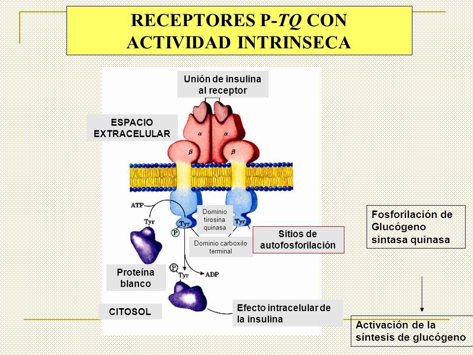 RECEPTORES P-TQ CON ACTIVIDAD INTRINSECA Unión de insulina al receptor ESPACIO EXTRACELULAR CITOSOL Sitios de autofosforilación Dominio tirosina quina