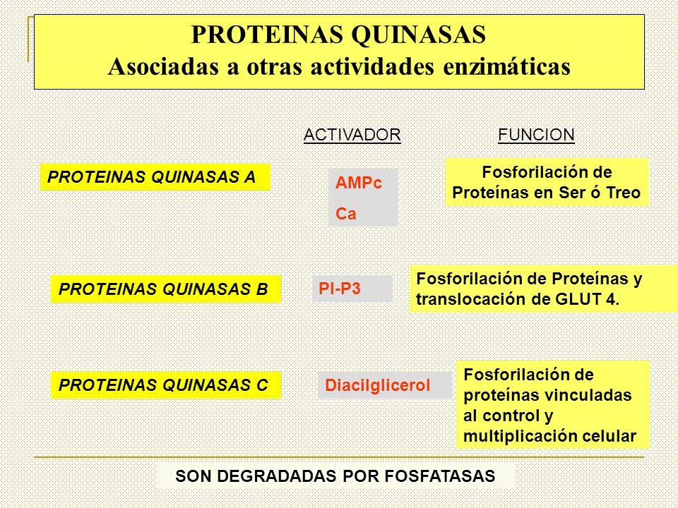 PROTEINAS QUINASAS Asociadas a otras actividades enzimáticas PROTEINAS QUINASAS A PROTEINAS QUINASAS B PROTEINAS QUINASAS C AMPc Ca ACTIVADORFUNCION F