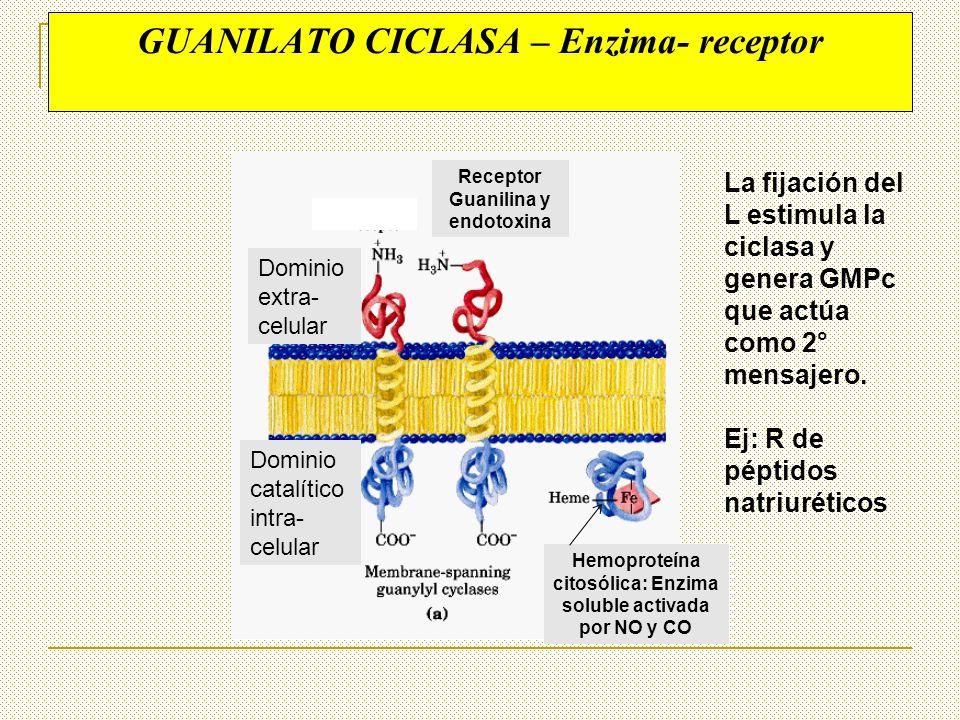 GUANILATO CICLASA – Enzima- receptor Dominio extra- celular Dominio catalítico intra- celular Receptor Guanilina y endotoxina Hemoproteína citosólica: