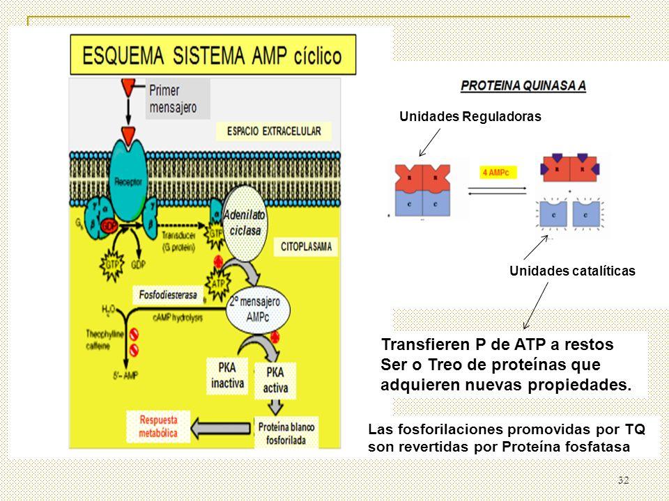 32 Unidades Reguladoras Unidades catalíticas Transfieren P de ATP a restos Ser o Treo de proteínas que adquieren nuevas propiedades. Las fosforilacion