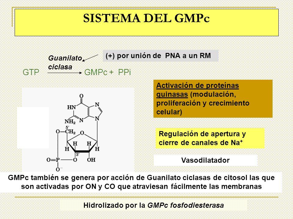 SISTEMA DEL GMPc Guanilato ciclasa GTP GMPc + PPi Activación de proteínas quinasas (modulación, proliferación y crecimiento celular) Regulación de ape