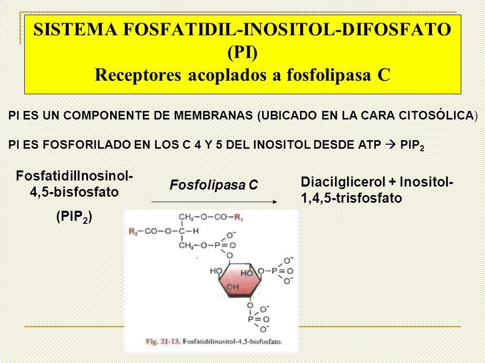Fosfolipasa C FosfatidilInosinol- 4,5-bisfosfato (PIP 2 ) Diacilglicerol + Inositol- 1,4,5-trisfosfato SISTEMA FOSFATIDIL-INOSITOL-DIFOSFATO (PI) Rece