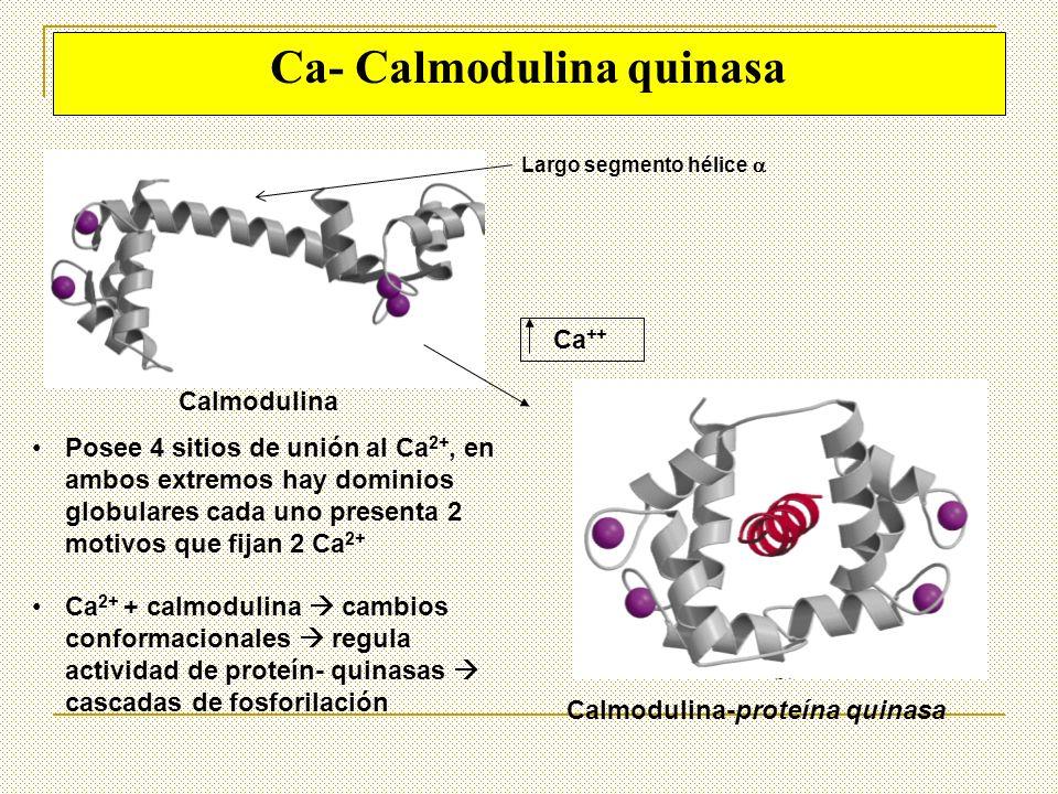 Ca- Calmodulina quinasa Ca ++ Calmodulina Calmodulina-proteína quinasa Posee 4 sitios de unión al Ca 2+, en ambos extremos hay dominios globulares cad