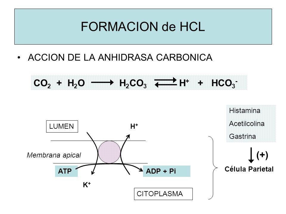 FORMACION de HCL ACCION DE LA ANHIDRASA CARBONICA CO 2 + H 2 O H 2 CO 3 H + + HCO 3 - LUMEN CITOPLASMA K+K+ H+H+ ATPADP + Pi Membrana apical Célula Parietal Histamina Acetilcolina Gastrina (+)