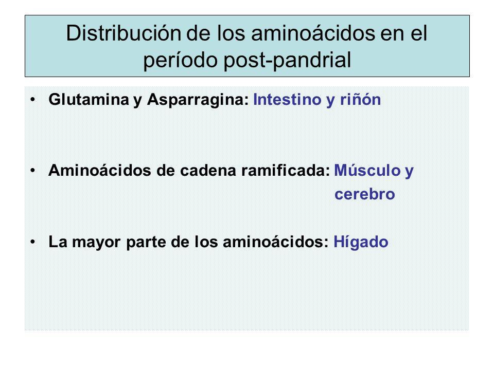Distribución de los aminoácidos en el período post-pandrial Glutamina y Asparragina: Intestino y riñón Aminoácidos de cadena ramificada: Músculo y cerebro La mayor parte de los aminoácidos: Hígado