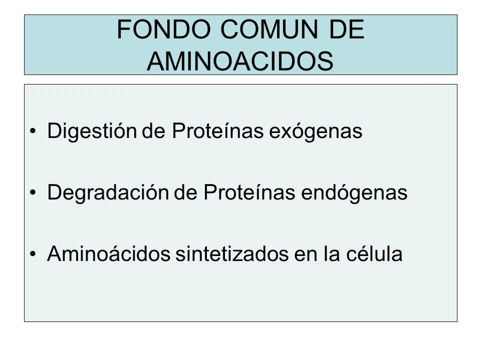 FONDO COMUN DE AMINOACIDOS Digestión de Proteínas exógenas Degradación de Proteínas endógenas Aminoácidos sintetizados en la célula