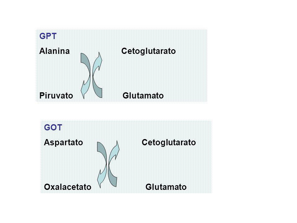 GPT Alanina Cetoglutarato Piruvato Glutamato GOT Aspartato Cetoglutarato Oxalacetato Glutamato