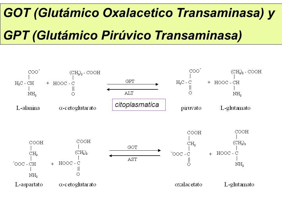GOT (Glutámico Oxalacetico Transaminasa) y GPT (Glutámico Pirúvico Transaminasa) citoplasmatica