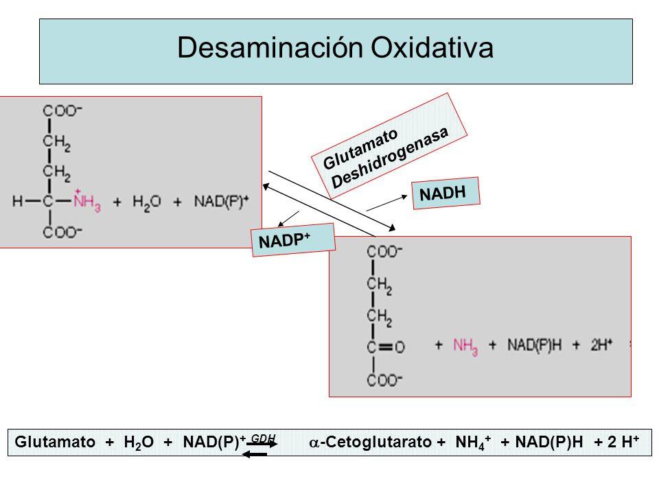 Desaminación Oxidativa Glutamato + H 2 O + NAD(P) + GDH -Cetoglutarato + NH 4 + + NAD(P)H + 2 H + Glutamato Deshidrogenasa NADH NADP +