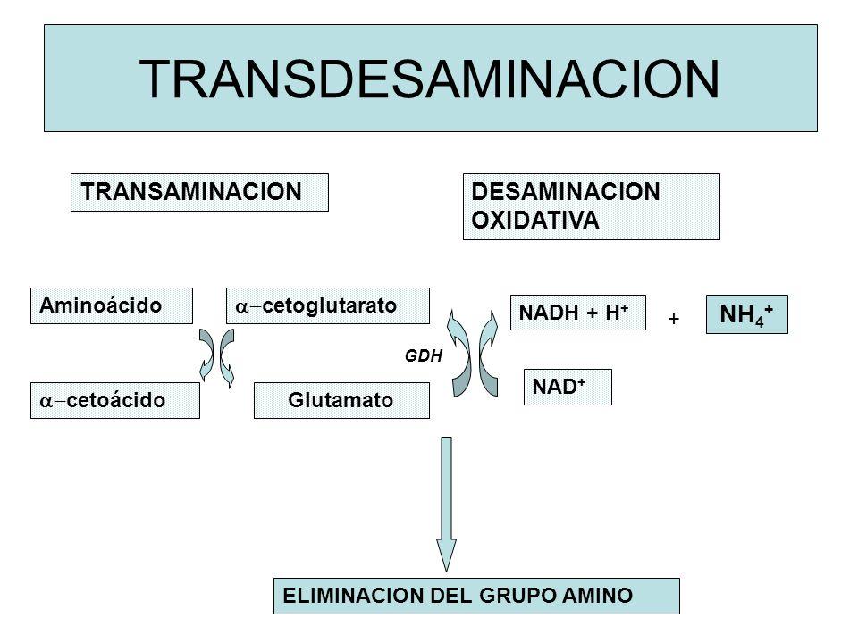 GDH TRANSDESAMINACION TRANSAMINACIONDESAMINACION OXIDATIVA ELIMINACION DEL GRUPO AMINO Aminoácido cetoglutarato Glutamato cetoácido NADH + H + NAD + NH 4 + +
