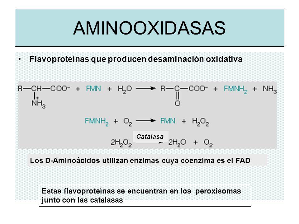 AMINOOXIDASAS Flavoproteínas que producen desaminación oxidativa Estas flavoproteínas se encuentran en los peroxisomas junto con las catalasas Los D-Aminoácidos utilizan enzimas cuya coenzima es el FAD Catalasa