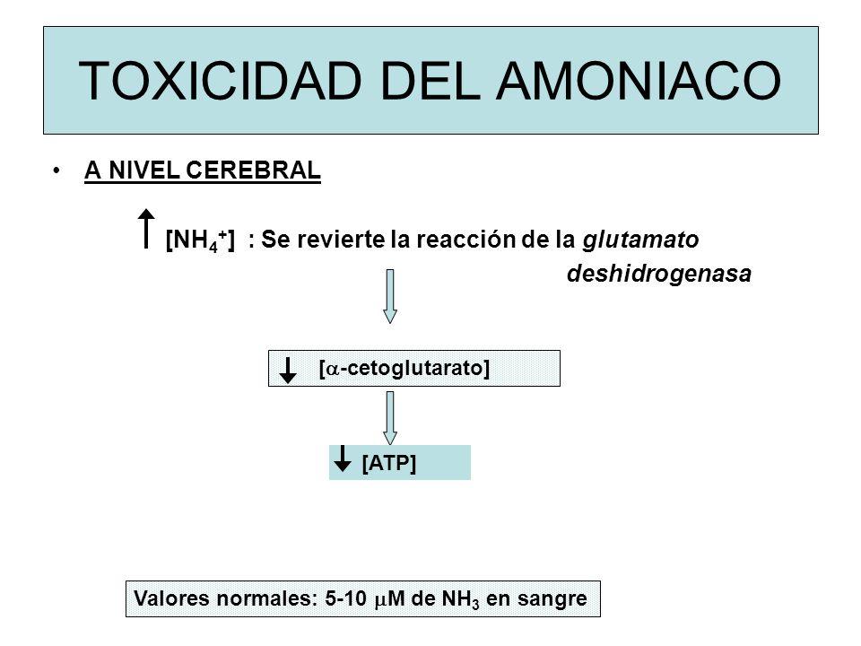 TOXICIDAD DEL AMONIACO A NIVEL CEREBRAL [NH 4 + ] : Se revierte la reacción de la glutamato deshidrogenasa [ -cetoglutarato] [ATP] Valores normales: 5-10 M de NH 3 en sangre