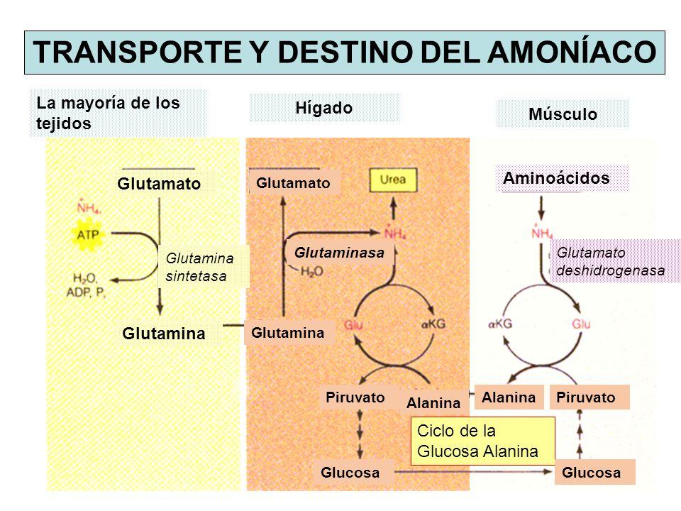 TRANSPORTE Y DESTINO DEL AMONÍACO La mayoría de los tejidos Hígado Músculo Ciclo de la Glucosa Alanina Glutamato Glutamina Glutamina sintetasa Glutamato Glutamina Aminoácidos Glutamato deshidrogenasa Alanina Piruvato Glucosa AlaninaPiruvato Glutaminasa